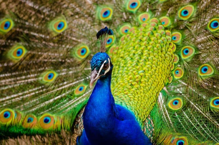 close up photography of peacock 148291